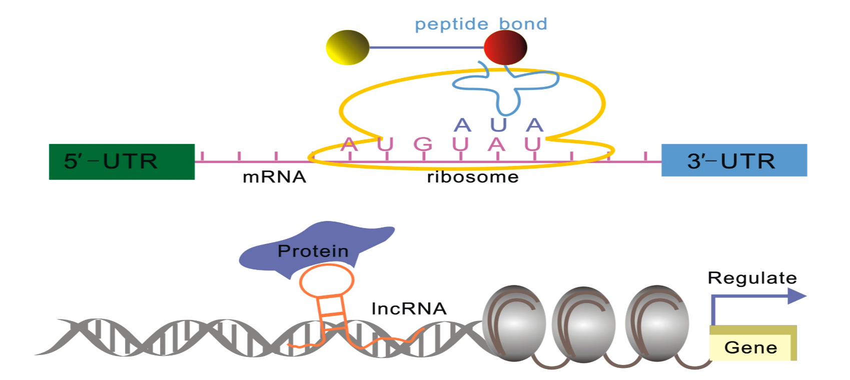IC4R-lncRNA-overview-1.png
